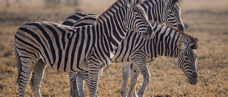 three zebras standing on green grass field